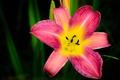Picture stamens, macro, petals, nature, Lily