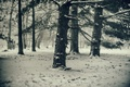 Picture cold, winter, snow, trees, pine