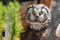 Picture tree, spruce, owl
