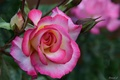 Picture macro, buds, rose