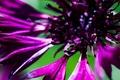Picture minimalism, macro, flowers, flowers, macro, minimalism, cornflowers, cornflowers