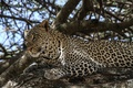 Picture leopard, predator, stay, face, wild cat, spot