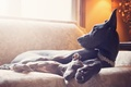 Picture dogs, comfort, house