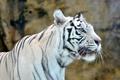Picture tiger, white, predator, face, white tiger