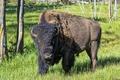 Picture nature, Yellowstone national Park, Buffalo