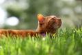 Picture Tomcat, Koshak, grass, red, cat