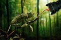Picture fly, chameleon, miss, language, lens