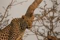Picture leopard, Africa, predator, face, wild cat