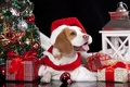 Picture dog, gifts, scarf, tree, lantern, cap