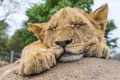 Picture cat, stay, ©Tambako The Jaguar, sleeping, cub, stone, Leo, sleep, lion