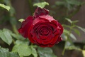 Picture drops, Rose, red, rose, red, drops