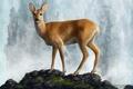 Picture stones, animal, water, ROE, deer