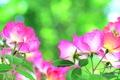 Picture nature, petals, rose, stem