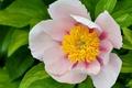 Picture peony, petals, pink, macro, drops