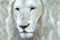 Picture cat, look, face, white lion