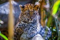 Picture bokeh, leopard, animal