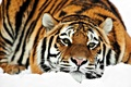 Picture lies, snow, Tiger, winter