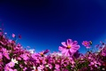 Picture summer, kosmeya, pink, the sky, flowers