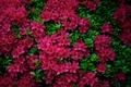 Picture leaves, flowers, Azalea, Azalea