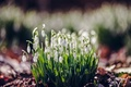 Picture flowers, macro, blur, Snowdrops, spring, glare, forest