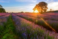 Picture tree, rays, field, summer, the sun, lavender