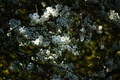 Picture flowers, Apple, flowers, nature, white, flowering, branches, spring