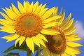 Picture sunflowers, macro, the sky, petals, Wallpaper