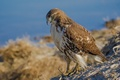 Picture bird, hawk, Red-tailed Buzzard