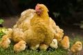 Picture Yellow, grass, chicken, chickens
