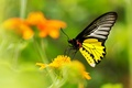 Picture blur, butterfly, yellow, flower