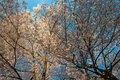Picture the sky, flowers, tree, spring