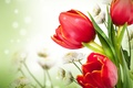 Picture flowers, white chrysanthemums, red tulips