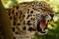 Picture Leopard, big cat, grin, the threat