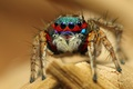 Picture Colorful Jumping Spider, macro, insect, spider