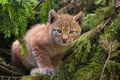 Picture cat, lynx, forest, kitty