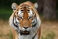 Picture predators, wild cats, Siberian tigers, animal photos