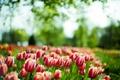 Picture macro, spring, tulips