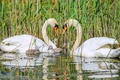 Picture family, swans, Chicks