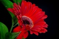 Picture leaves, background, petals, gerbera