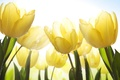 Picture flowers, flowers, beauty, yellow, stems, Tulips, light, leaves, drops, sky, drops, petals, yellow, bright, tulips, ...