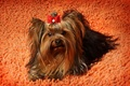 Picture dog, animals, Yorkshire Terrier, photo