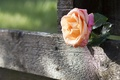 Picture the fence, Board, rose