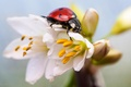 Picture flowers, macro, ladybug, insect, white