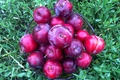 Picture plum, drain, vitamins, the gifts of summer, Fruit