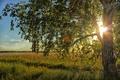 Picture the sun, light, field, birch