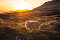 Picture light, sunset, sheep