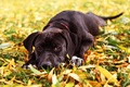 Picture dog, look, Maya, grass, autumn, leaves