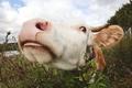 Picture summer, cow, village, horns