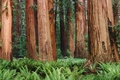 Picture forest, Trees, ferns