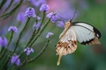 Picture flowers, butterfly, wings, insect, swallowtail